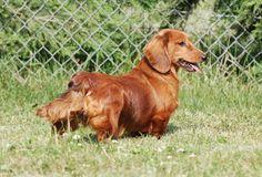 Africandawns dog training and dog boarding kennels Dachshund Breeders, Dog Boarding Kennels, Standard Dachshund, Country Of Origin, Dog Training, Dogs, Animals, Animales, Animaux