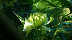 Sen-no-kaze, a very unusual clematis, very green in my garden due to growing in a shaded area, I guess. Flower shape similar to that of the Red Star clematis. Photo: Dagmara Walkowicz