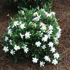 Gardenia is the queen of fragrant flowers. Gardenia grows well in zones and loves shade. Gardenia is a perennial.Plant in well draining soil and keep the soil moist. Garden Shrubs, Diy Garden, Shade Garden, Garden Bugs, Dwarf Gardenia, Gardenia Bush, Gardenia Indoor, Border Plants, Edging Plants