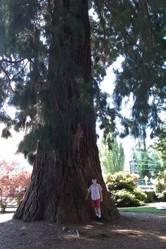 The redwood trees are on my bucket list Hillsboro Oregon, Big Tree, Ocean Beach, Portland Oregon, Atlantis, Wonders Of The World, Fathers, Beautiful Places, Bucket