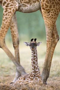 Mama and Baby Giraffe