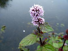 Watermint (Mentha aquatica) vigorous plant in baskets,