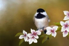 Apple Blossom Chickadee - my most popular digital painting to date and one of my all time favorites. I adore these little birds! Art Painting Images, Art Images, Bird Pictures, Flower Pictures, Pretty Birds, Beautiful Birds, Bee Drawing, Decoupage, Visual Aids