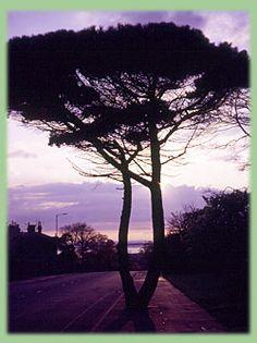 Home tree. Grange Road, West Kirby, Wirral