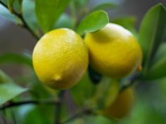 Great tips for caring for a Meyer lemon tree in a pot . . . http://www.hgtvgardens.com/trees/sour-puss-reviving-a-fussy-meyer-lemon-tree