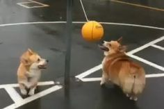corgis playing tetherball so funny! i love it the small one is cute!very cute!