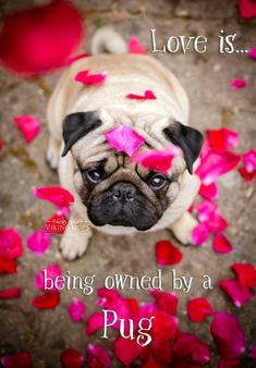 cute pug puppies 19 Inspirational Pug Quotes about Life and Love Cute Pug Puppies, Cute Pugs, Doggies, Funny Pugs, Pug Quotes, Pugs And Kisses, Baby Pugs, Pug Pictures, Tier Fotos