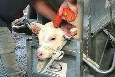 An innocent life being taken, because he is just a byproduct to the dairy industry. If you eat anything dairy then you are supporting these acts