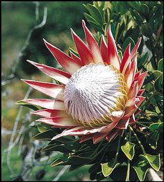 South Africa's national flower, the giant or king protea flora, protea Protea Plant, Protea Flower, South African Flowers, South African Art, Africa Drawing, Protea Wedding, African Plants, King Protea, Weird Plants