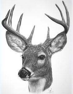 White-tailed deer - amysdrawings.com Finished this drawling and well lets just say it looks better here then on my paper, lol