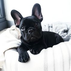 Are you one of the pug lovers or french bulldog lovers? If you do, then our onli. - Are you one of the pug lovers or french bulldog lovers? If you do, then our online store is fo - # French Bulldog Clothes, Cute French Bulldog, French Bulldog Puppies, Cute Dogs And Puppies, Doggies, Teacup French Bulldogs, English Bulldogs, French Bulldog Costume, French Bulldog Pictures