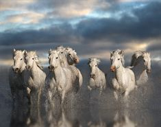 White Horses of the Camargue. Horse riding is a very popular activity in the Languedoc.  http://www.totem-info.com/region/Languedoc-Roussillon/