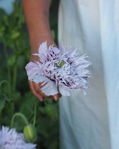 I grew these beauties from seed! More pictures on my website. Late Autumn, Early Spring, Flower Beds, More Pictures, Poppies, Lilac, Dandelion, Seeds, Website