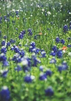 Wildflower fields of Texas