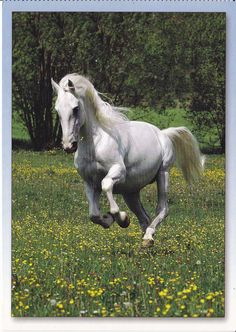 FAVORY III - LIPIZZAN HORSE POSTCARD - GALLOPING IN PASTURE