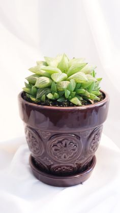 Succulent plant Haworthia Mirabilis v Badia is a different and very interesting rosette. Extremely plump and fleshy leaves form this rosette that