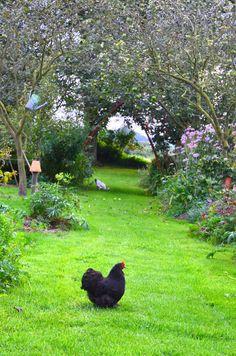 .Condor, Pandore, Celeste, Nougatine et Clochette vivent dans notre jardin, des poules rousses, sussex, haro et coucou rennais