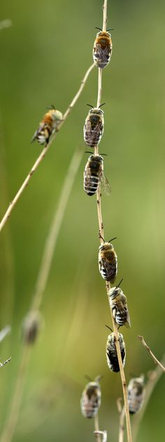 Male Amegilla bees lined up in their 'dormitory' for the night…