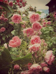 roses in Boothe Memorial Park rose garden | pleasure in simple things