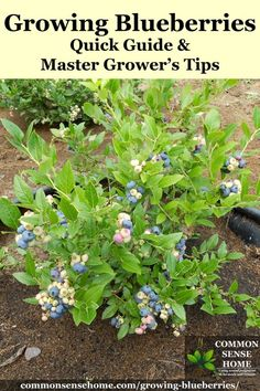 Growing Blueberries - Quick Guide and Master Grower's Tips How to grow blueberries in the garden plus detailed information to help you plant blueberries and produce your best blueberry harvest ever.