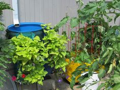 That is a rain barrel in behind the green wall.