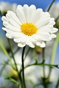 La flor más sencilla y bonita de la naturaleza