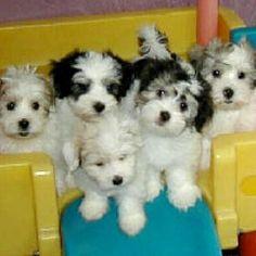 63 best coton de tulear images coton de tulear cute baby dogs