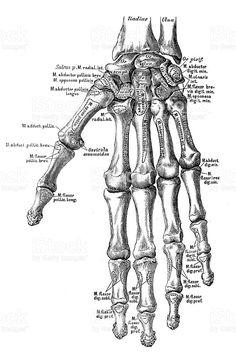 Gray\'s Anatomy - Bones of the left hand. Volar surface. | Science ...