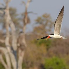 We have some very very exciting news! It is a pleasure for us to announce that a pair of African Skimmers have been located on Argyle Property in the Northern Timbavati Private Nature Reserve at Argyle Dam and the great news is that they are nesting which is even greater news than just having the birds around. The reason everyone is making such a fuss about these magnificent birds is first of all they dont even occur here this is a very out of range sighting. It is very special to have them here on our property. As per Trevor Hardaker of the South African Rare Bird News Report Group this would only be the 3rd successive season that we have had confirmed breeding of this species in South Africa after decades of no reports of breeding in South Africa making this so much more special.  by Stefan Kruger . . . #HilltopLodge #RiverLodge #MachatonPrivateCamp #Wildlife #Getaway #Simbavati #Safari #Lodge #River #AfricanSafari #Africa #SafariPark #SafariWorld #LuxurySafari #Wilderness River Lodge, Rare Birds, Exciting News, African Safari, Nature Reserve, Bird Watching, Lodges, Wilderness, South Africa