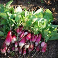 Graines de radis de 18 jours bio sur le site www.semences-bio.com pour 3.50 € le sachet seulement.