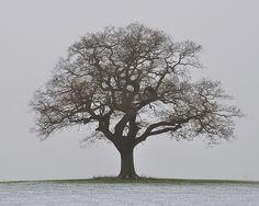 Melbourne Oak Tree in Winter