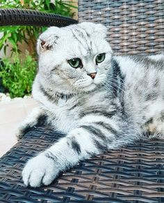Most Popular Flat Faced Cat Breeds in The World - Samoreals Cute Cats And Kittens, I Love Cats, Kitty Cats, Crazy Cat Lady, Crazy Cats, Dwarf Cat, Taylor Swift Cat, Flat Faced Cat, Scottish Fold Kittens