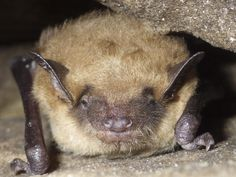 A guide to the eight bat species living in Ontario. These fascinating creatures are the only flying mammals in the world. Dave Thomas, Bat Species, Bats, Mammals, Ontario, Creatures, Nature, Naturaleza, Outdoors