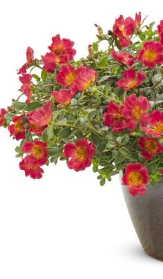 This award-winning annual shows off its large vibrant blooms all summer long! Mojave Red Portulaca is also very heat, humidity and drought tolerant. Red Flowers, Colorful Flowers, Red Roses, Red Plants, Types Of Plants, Edging Plants, Ground Covering, Proven Winners