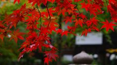 Nature Wallpaper Japan the Garden Branches Maple Leaves Red