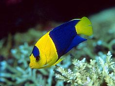 Peces hermosos on pinterest fish goldfish and goldfish tank for Lista de peces tropicales para acuarios