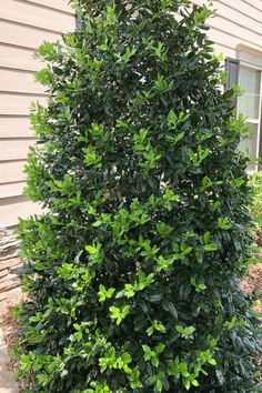 Nellie Stevens Holly - non-invasive root system - 7 Fast Growing Evergreen Trees and Shrubs Evergreen Trees Landscaping, Evergreen Trees For Privacy, Evergreens For Shade, Hedge Trees, Shrubs For Landscaping, Evergreen Landscape, Evergreen Hedge, Trees And Shrubs, Landscaping Ideas