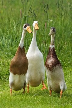 Indian Runner Ducks #PurelyPoultry