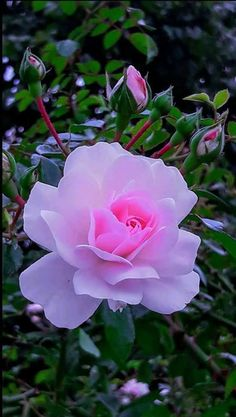 """""""I am a rose…"""" 1 – """"Solomons Song of Songs"""" Beautiful pink rose. - """"I am a rose…"""" 1 – """"Solomons Song of Songs"""" Beautiful pink rose. Beautiful Rose Flowers, Beautiful Flowers Wallpapers, Romantic Roses, Flowers Nature, Exotic Flowers, Amazing Flowers, Pretty Flowers, Flowers Garden, Purple Roses"""