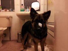 German Shepherd Splashing in the Bath » DogHeirs | Where Dogs Are Family « Keywords: Shareable, bath, splash, German Shepherd