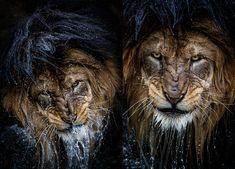 Exclusive: The Story Behind the Most Intense Lion Portrait