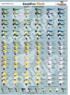 100 Gouldian Mutations