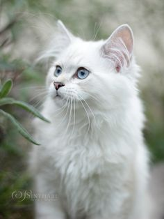 Beautiful inspiration for a children's book I have always wanted to write! White Persian Kittens, White Cats, Tortoiseshell Tabby, Exotic Cats, Cat Tags, Curious Cat, Cat Aesthetic, Cat Photography, Tier Fotos