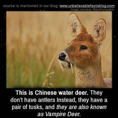 This is Chinese water deer. They don't have antlers Instead, they have a pair of tusks, and they are also known as Vampire Deer.