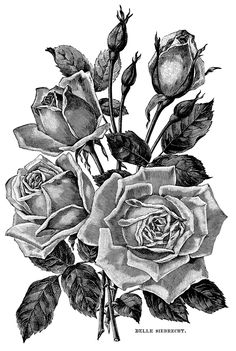 Illustration clipart black and white - pin to your gallery. Explore what was found for the illustration clipart black and white Rose Illustration, Illustration Botanique, Botanical Illustration, Victorian Illustration, Flower Coloring Pages, Adult Coloring Pages, Vintage Floral Tattoos, Tattoo Vintage, Clip Art Vintage