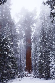 Snow Tree, The Redwoods, California photo via dayum