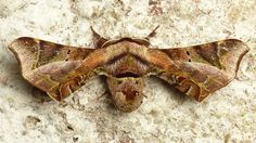 American Silkworm Moth, Quentalia surynorta? Apatelodidae