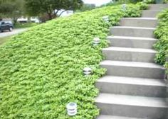 pretty ground covering with pachysandra terminalis plus stone staircase for home landscaping ideas