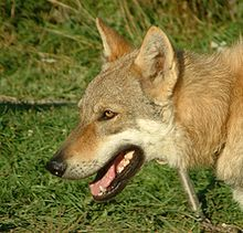 It's obviously blindingly obvious, but Wikipedia has some very useful articles on wolf-dog hybrids, and most interesting for me, this one on the Czechoslovakian Wolfdog - fascinating stuff on this amazing and beautiful creature - enjoy!