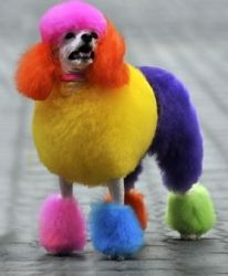 Fashionable Dyed Chinese Poodle in Wuhan, in the Hubein Province of China